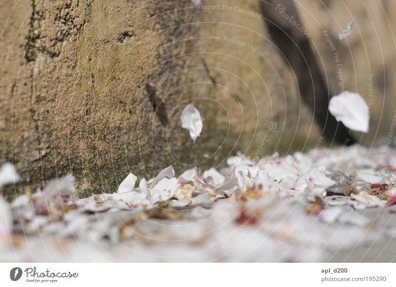 end of spring Umwelt Natur Pflanze Wind Baum Blüte Wildpflanze Mandelbaum fallen authentisch natürlich braun rosa weiß beweglich Leben Kontrolle stagnierend