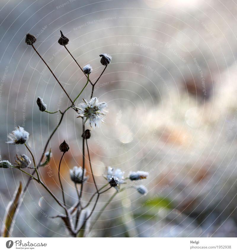 Eisblümchen Umwelt Natur Pflanze Winter Frost Blume Samen Stengel Wiese frieren glänzend stehen dehydrieren einfach einzigartig kalt natürlich braun grau