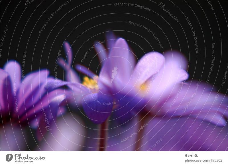 turbo Lenz Blume Blüte Bewegung Frühling Wind violett wild Stengel chaotisch durcheinander Anemonen Frühblüher Turbulenz Balkonpflanze