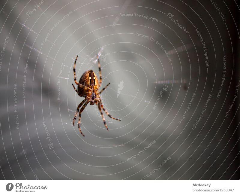 Ins Netz gegangen Natur Tier Sommer Nutztier Wildtier Spinne Beine Körperteile Kreuzspinne Spinnennetz Spinnenbeine 1 fangen festhalten hocken Jagd warten