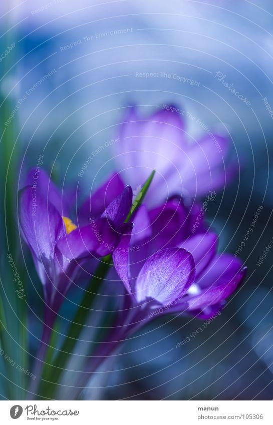 violet spring elegant Sinnesorgane Duft Taufe Gartenarbeit Gärtner Natur Blume Blüte Krokusse Frühling Frühlingsblume Frühblüher Frühlingsgefühle Frühlingsfarbe