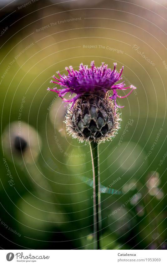 Im letzten Sonnenlicht Natur Pflanze Sommer Schönes Wetter Blume Blüte Kornblume Wiese Alpen Blühend Duft ästhetisch schön gelb gold grün rosa Stimmung Leben