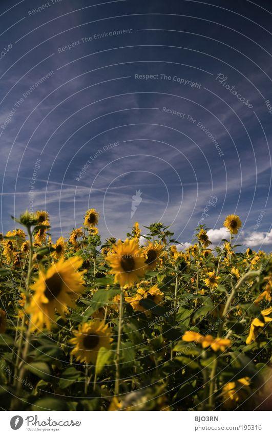 Ein Tag im Sommer #2 Umwelt Natur Himmel Wolken Schönes Wetter Pflanze Blatt Blüte Grünpflanze Nutzpflanze Sonnenblume Blume Wiese Feld Duft frisch positiv blau