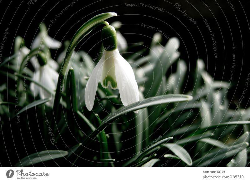 """weiße jungfrau Natur Pflanze Frühling Schönes Wetter Blume Blatt Blüte Park Wiese Blühend Wachstum frisch hell nah grün Frühlingsgefühle """"schnee schneeglöckchen"""
