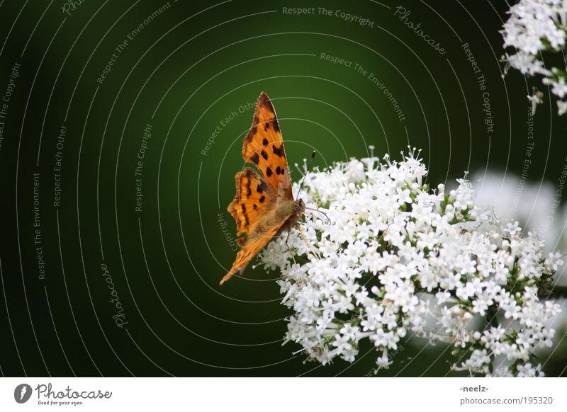 Schmetterling auf Blüte Natur Blume grün Pflanze Tier Wiese Frühling Umwelt ästhetisch Neugier Duft Frühlingsgefühle