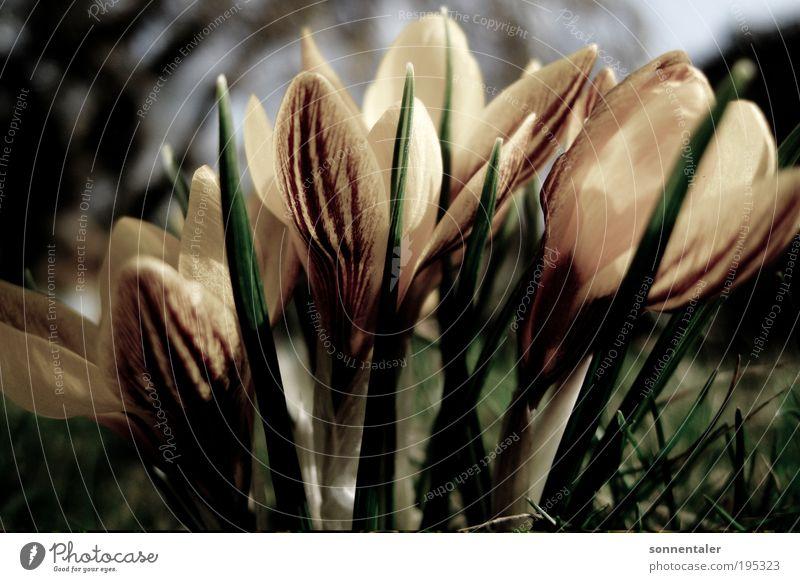 Iridaceae Natur Pflanze Blume Blatt Wiese Gras Blüte Frühling Park Erde Schönes Wetter Krokusse Frühlingsgefühle Frühlingsblume neugeboren Frühlingstag