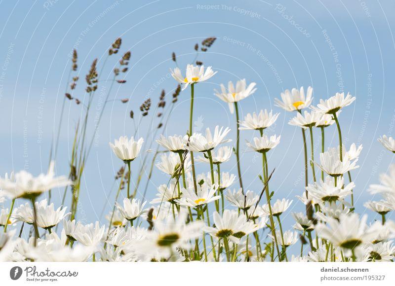 wenn der Sommer nicht mehr weit ist Natur Pflanze Frühling Wetter Schönes Wetter Blume Blatt Blüte hell blau weiß Gras Blumenwiese Margerite Gedeckte Farben