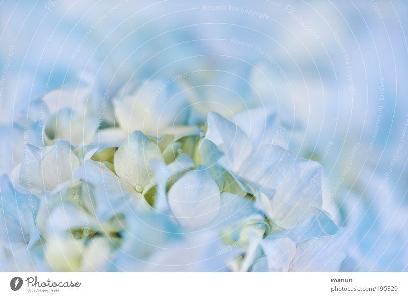 Hortensie II Natur blau schön Farbe Sommer Blume ruhig Blüte Frühling hell Design frisch elegant Sträucher Blühend Romantik