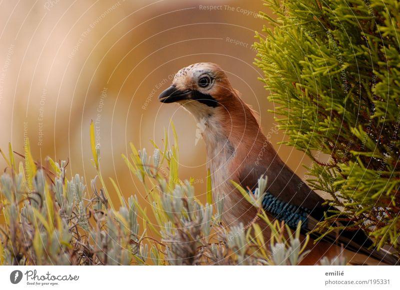 blueEye Natur schön grün blau Tier Leben braun Vogel elegant frei Geschwindigkeit nah authentisch Tiergesicht Feder beobachten
