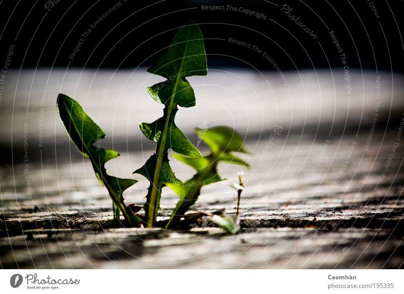 Mach Platz, ich komme! Natur Pflanze Blatt Frühling Umwelt Macht Mut Wahrheit Grünpflanze Wildpflanze