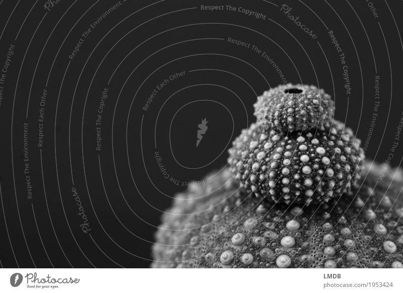 1-2-3 Seeigelstapelei Souvenir Sammlung dunkel klein nah maritim stachelig grau schwarz sortieren Seeigelskelett Größenunterschied Meer gepunktet