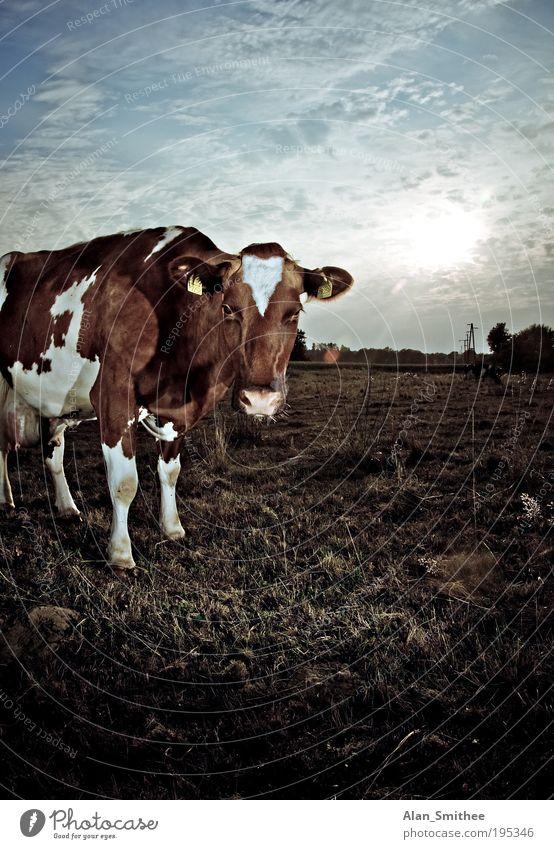 auge in auge Natur Tier Sonne Sonnenlicht Schönes Wetter Gras Wiese Feld Kuh 1 beobachten Blick stehen braun Idylle Gegenlicht Milchkuh scheckig Starrer Blick