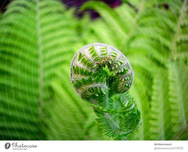 Entfarnung Pflanze grün Park Echte Farne Nahaufnahme Garten Botanischer Garten