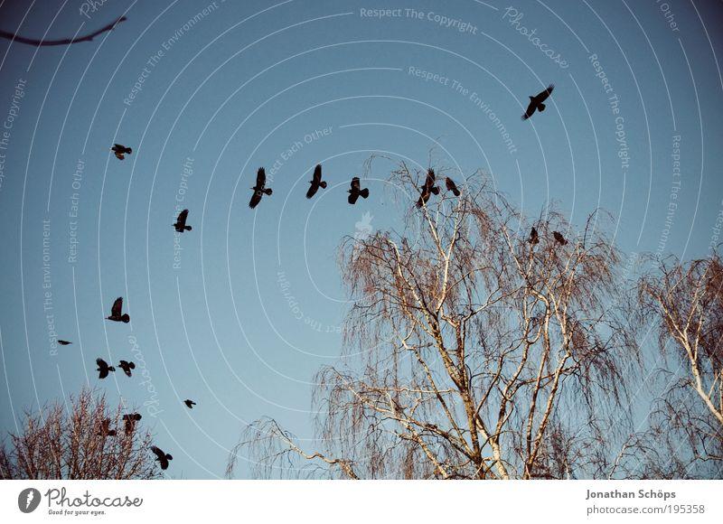 Luftwaffe Umwelt Natur Himmel Wolkenloser Himmel Schönes Wetter Baum Tier Vogel Tiergruppe Schwarm fliegen blau braun schwarz Überraschung Rabenvögel Flügel