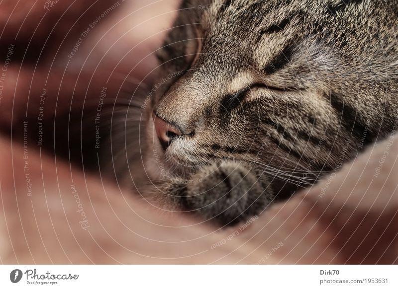 Schlafende Katze en detail Erholung Tier Wärme Glück Wohnung träumen Häusliches Leben Zufriedenheit liegen genießen Warmherzigkeit niedlich weich schlafen