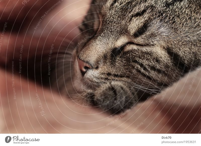 Schlafende Katze en detail Häusliches Leben Wohnung Tier Haustier Tiergesicht Pfote Hauskatze europäisch Kurzhaar Tigerkatze Tigerfellmuster 1 Decke Wolldecke