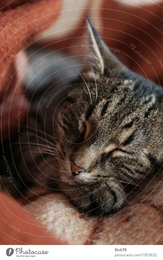 Eingekuschelt Wohlgefühl Erholung Häusliches Leben Wohnung Tier Haustier Katze Tiergesicht Pfote Hauskatze Tigerkatze europäisch Kurzhaar 1 Decke Wolldecke