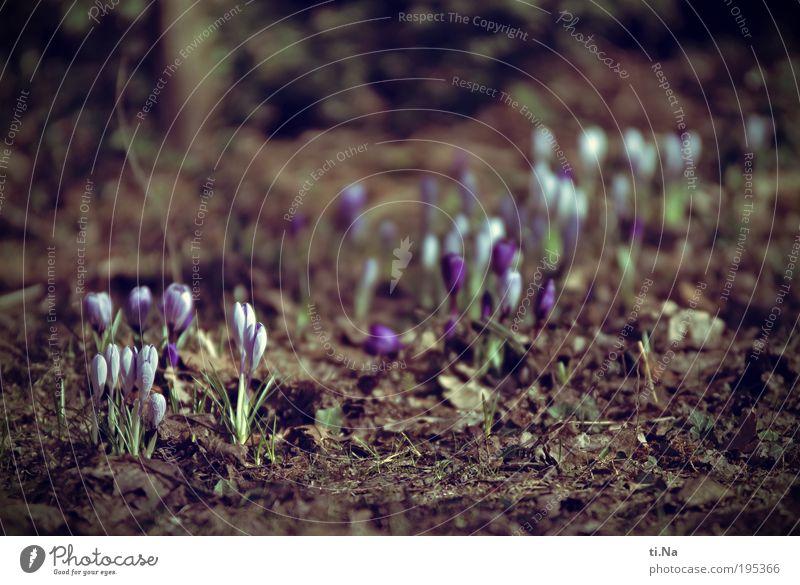 mein erstes Krokusbild Umwelt Natur Landschaft Tier Erde Frühling Klima Schönes Wetter Pflanze Blume Krokusse Garten Blühend Wachstum schön natürlich