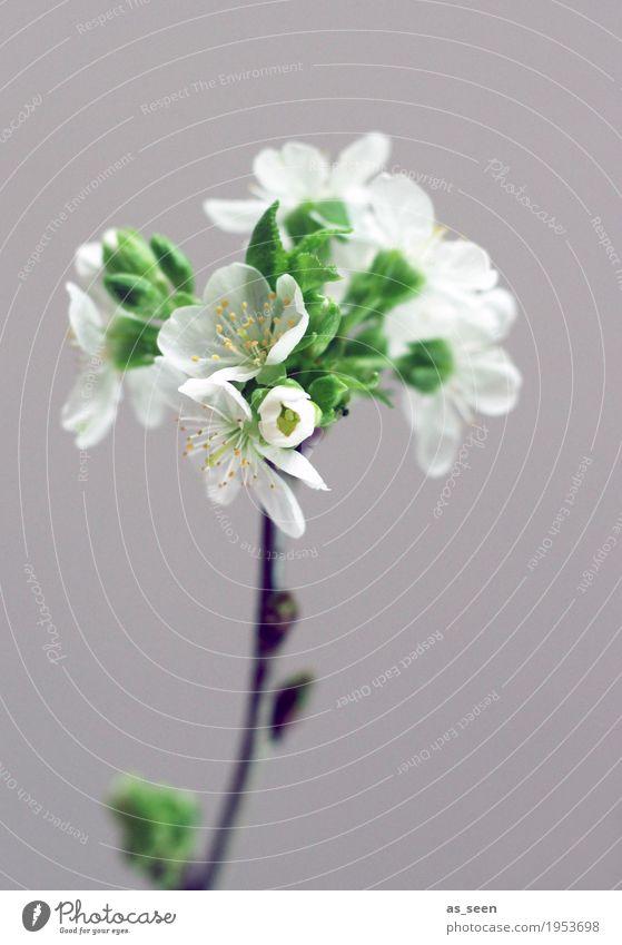 Baumblüte Design Leben harmonisch Häusliches Leben Dekoration & Verzierung Ostern Natur Frühling Pflanze Ast Zweig Kirschblüten Blüte Blatt Staubfäden Garten