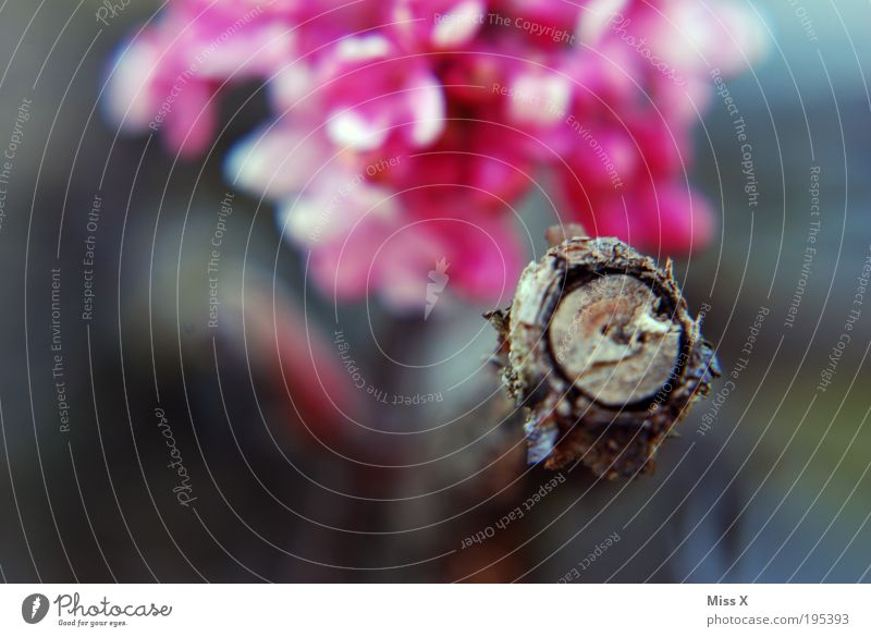 Ast Blüte Frühling Sträucher Kirschblüten Baum Kirschbaum