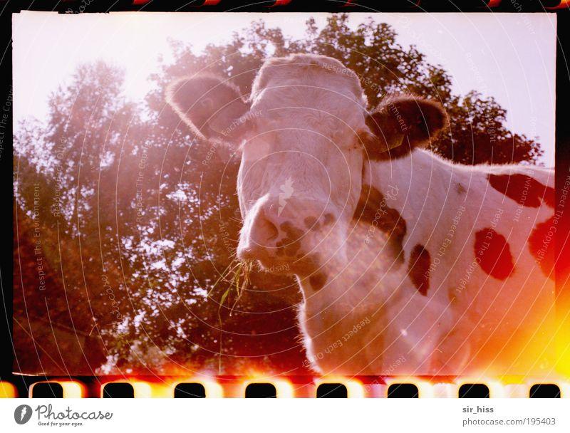 Mittagspause Natur blau Pflanze rot Ernährung Tier Stimmung Umwelt Tiergesicht Wut Neugier Leidenschaft Kuh Schönes Wetter Haustier Ärger