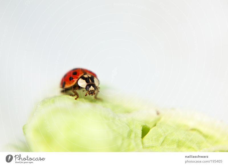 Marienkäfer Lebensmittel Umwelt Natur Tier Käfer 1 ästhetisch grün rot schwarz weiß Glück Farbfoto mehrfarbig Innenaufnahme Menschenleer Textfreiraum rechts