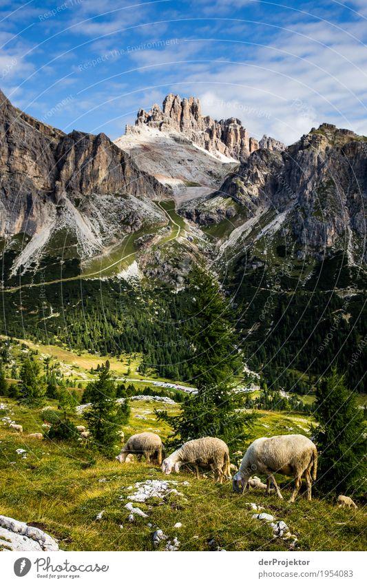 Schafe grasen in den Dolomiten Blick nach unten Halbprofil Ganzkörperaufnahme Tierporträt Weitwinkel Sonnenlicht Starke Tiefenschärfe Zentralperspektive Totale