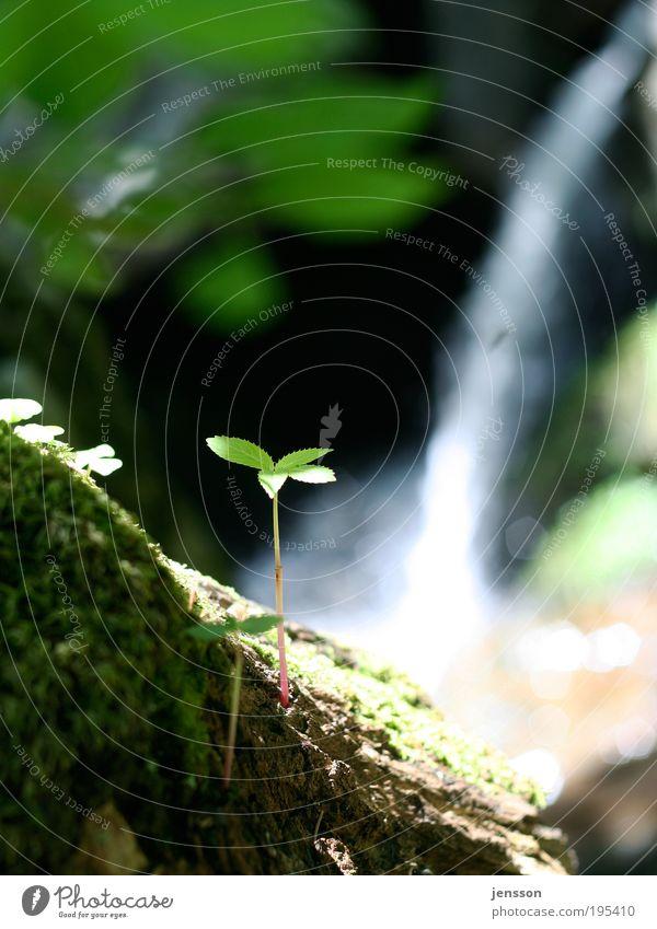 151455 Umwelt Natur Pflanze Sommer Moos Grünpflanze Wald Berge u. Gebirge Wasserfall Blühend Wachstum ästhetisch Duft authentisch einfach frisch nachhaltig