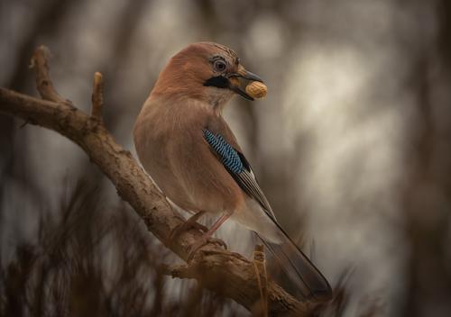 Eichelhäher Natur blau weiß Baum Tier Winter dunkel Wald schwarz Umwelt gelb Herbst Garten braun Vogel fliegen