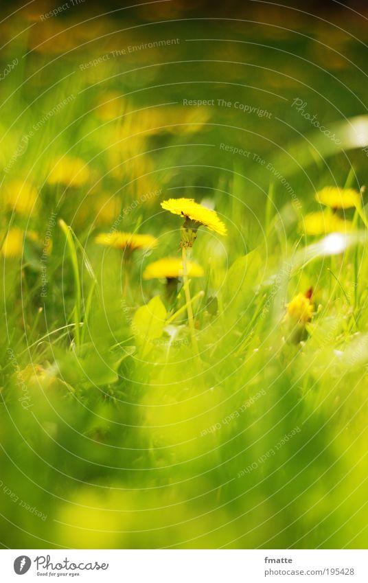 Frühling Umwelt Natur Pflanze Blüte Wiese ästhetisch frisch positiv weich grün Stimmung Zufriedenheit Löwenzahn Sonne Sommer Farbfoto Außenaufnahme