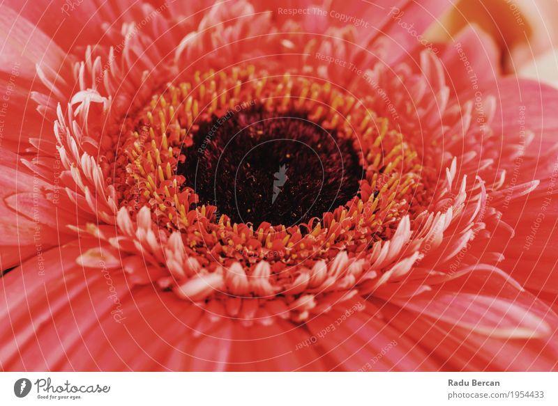 Rosa Gerbera-Blumen-Blumenblatt-Zusammenfassungs-Makro Natur Pflanze Sommer Farbe schön rot Umwelt Leben Blüte Liebe Frühling natürlich feminin Garten orange