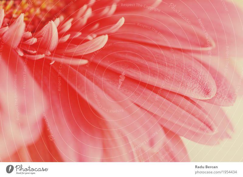 Rosa Gerbera-Blumen-Blumenblatt-Zusammenfassungs-Makro Umwelt Natur Pflanze Frühling Sommer Blüte Garten Blühend Liebe einfach frisch hell schön natürlich retro