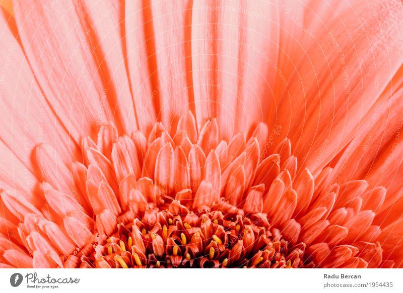 Rosa Gerbera-Blumen-Blumenblatt-Zusammenfassungs-Makro Dekoration & Verzierung Umwelt Natur Pflanze Frühling Sommer Blüte Blühend Liebe einfach frisch schön