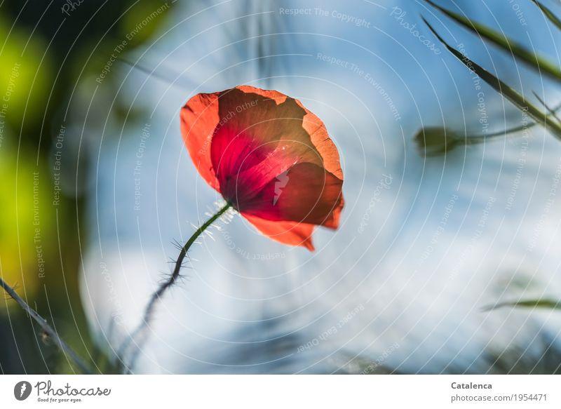 Heute, Montag. Natur Pflanze Himmel Sommer Schönes Wetter Blume Blüte Klatschmohn Wiese Feld Blühend ästhetisch elegant blau grün orange rot Fröhlichkeit schön