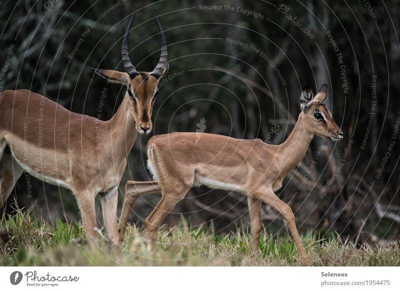 Frischling Ferien & Urlaub & Reisen Tourismus Ausflug Abenteuer Ferne Safari Expedition Umwelt Natur Wald Tier Wildtier Tiergesicht Antilopen 2 Tierjunges