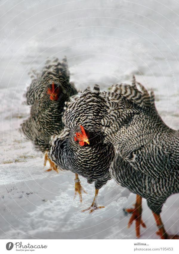 hühner im schnee Schnee Feierabend Winter Haushuhn 3 Tier Bewegung Team Ziel zielstrebig marschieren Viehzucht Federvieh Wyandotte Farbfoto Textfreiraum oben