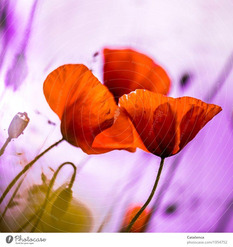 Wieder Mohntag Natur Pflanze Wassertropfen Sommer schlechtes Wetter Blume Blüte Klatschmohn Garten verblüht Wachstum ästhetisch elegant Zusammensein schön grün
