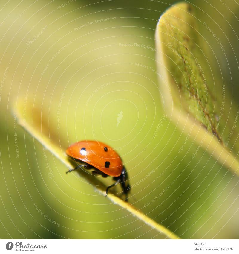 Gratwanderung Marienkäfer Käfer Tier Glück Glücksbringer Insekt gehen krabbeln Siebenpunkt-Marienkäfer rot Punktmuster Quittenblatt Pflanze Glückwünsche