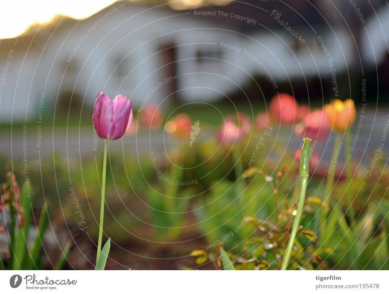Tulpen bei Sonnenuntergang Licht Lampe purpur violett Pflanze Blume Frühling Haus weiß Straße süß Unschärfe abstrakt Tiefenschärfe seicht Stengel orange gelb
