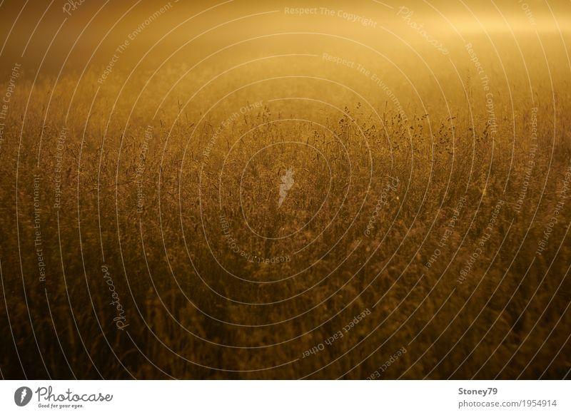 Sommerwiese Natur Pflanze Sonne Sonnenaufgang Sonnenuntergang Sonnenlicht Nebel Gras Wiese Wärme gelb gold Farbfoto Außenaufnahme Menschenleer