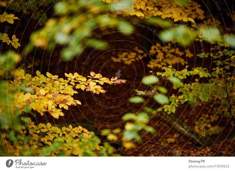 Herbstlaub Natur Landschaft Pflanze Baum Blatt Wald Laubwald nah wild braun gelb gold grün mehrfarbig Außenaufnahme Menschenleer Tag Licht Schatten Unschärfe