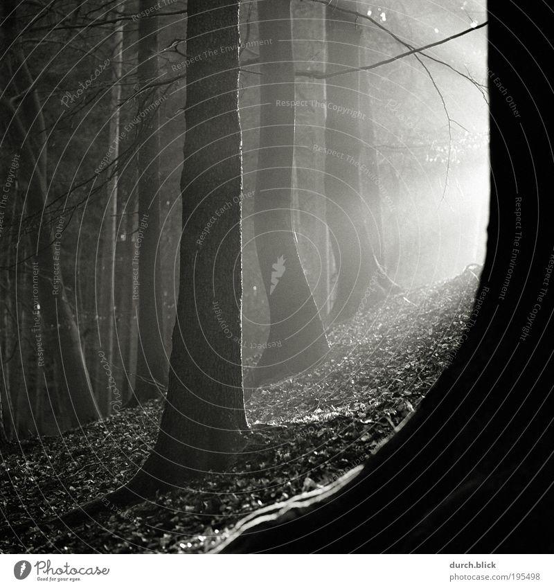 Waldlicht Natur Baum Sonne Pflanze ruhig Einsamkeit Herbst Berge u. Gebirge träumen Stimmung Kraft Erfolg Erde Hoffnung Schwarzweißfoto