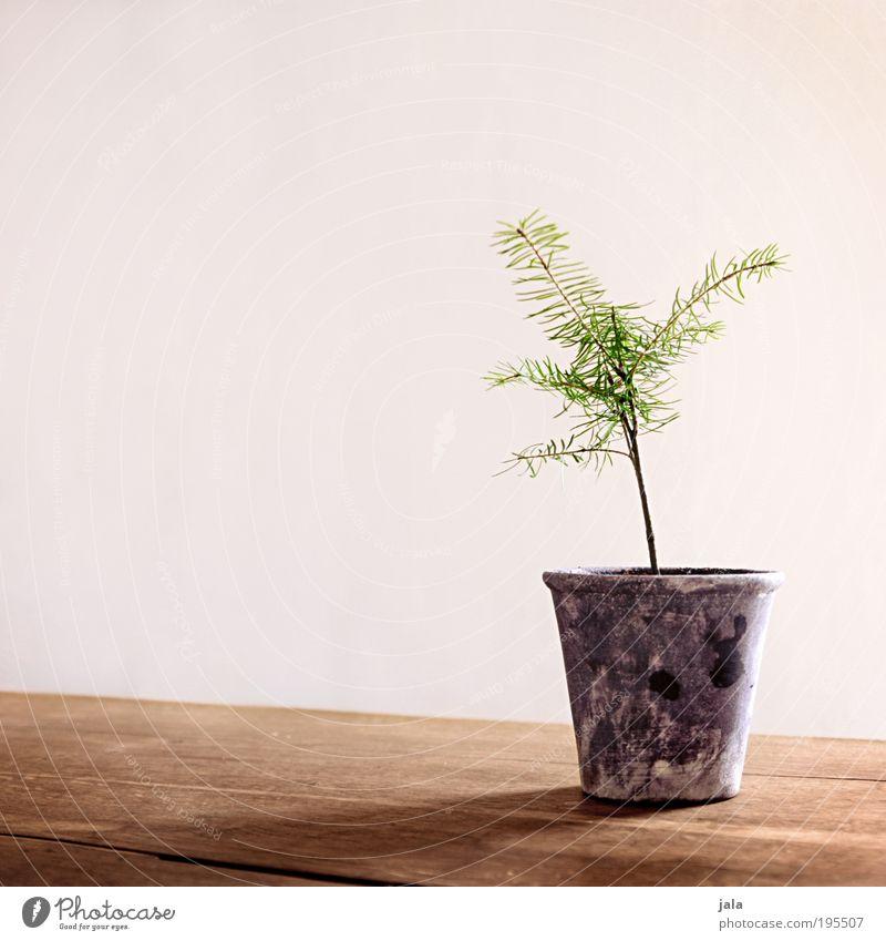 Latsche Frühling Pflanze Baum Topfpflanze Kiefer Nadelbaum Blumentopf Tisch Farbfoto Innenaufnahme Textfreiraum links Tag Licht Schatten