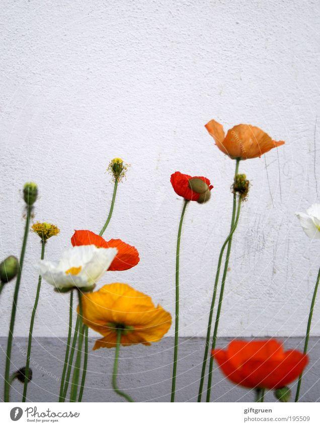poppies Pflanze Blume Mauer Wand Blühend Wachstum authentisch dreckig Duft einfach Freundlichkeit Fröhlichkeit gelb grau rot weiß schmutzig aufstrebend verblüht