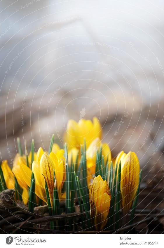 Der Sonne entgegen Natur Pflanze Blume gelb Umwelt Blüte Frühling hell Klima Schönes Wetter Knollengewächse Frühlingsgefühle Krokusse Frühlingsblume