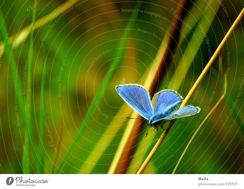 Ziemlich blau Umwelt Natur Pflanze Tier Sommer Gras Wiese Wildtier Schmetterling Bläulinge 1 hocken sitzen frei schön natürlich grün Freiheit Idylle