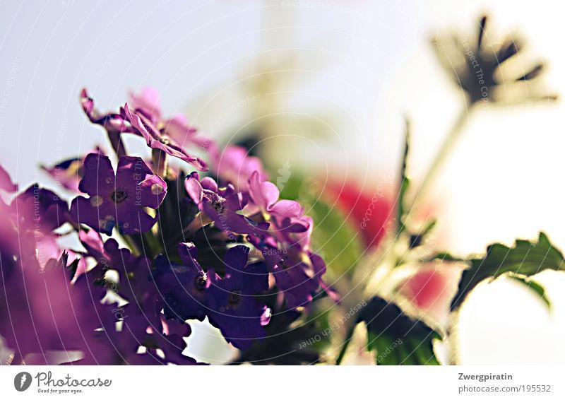 Sommer, komm zurück! Duft Sonne Natur Pflanze Himmel Schönes Wetter Wärme Blüte Topfpflanze Blühend hängen leuchten Wachstum frisch heiß hell Fröhlichkeit