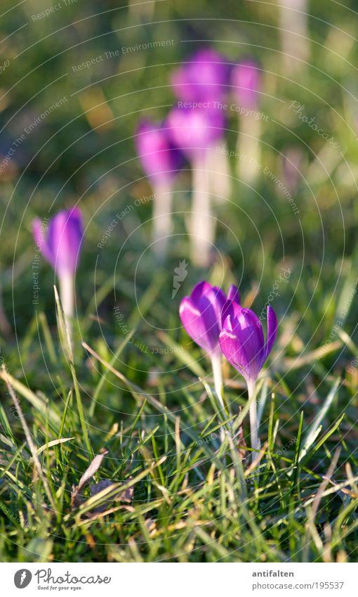Grüppchenbildung Natur Pflanze Erde Sonne Sonnenlicht Frühling Sommer Blume Blatt Blüte Krokusse Park Wiese Rheinwiesen Düsseldorf Stadtrand Blühend