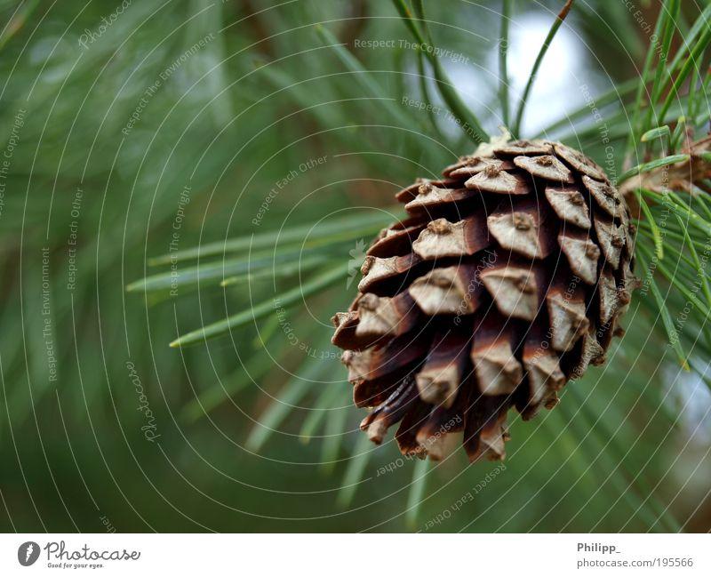 Es grünt so grün... Natur Baum Pflanze Umwelt Frühling braun Spitze Tanne Grünpflanze Toleranz Nadelbaum Tannennadel Tannenzapfen Frucht vernünftig