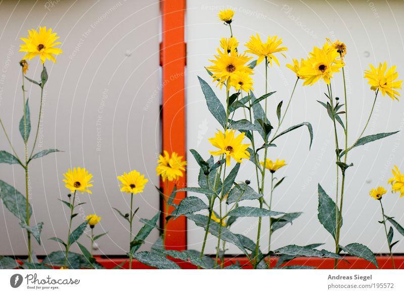 Urban Painting Umwelt Natur Frühling Pflanze Blume Blatt Blüte Grünpflanze Garten Balkon Linie Farbe ästhetisch schön gelb grün orange Blühend gemalt Farbfoto